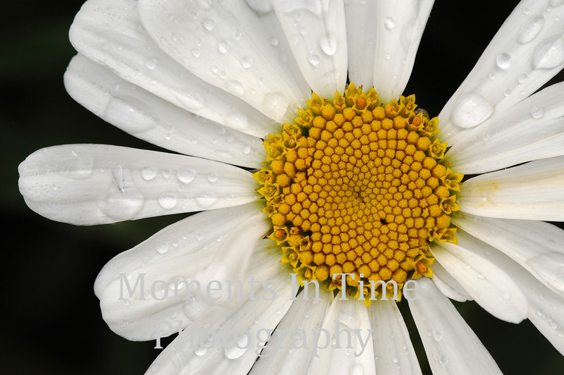 Daisy with drops