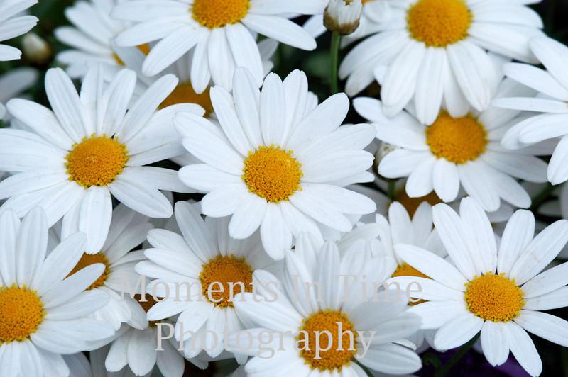 Whilte daisies
