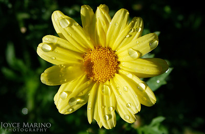 Yellow Daisy with rain drops -- DSC_0014