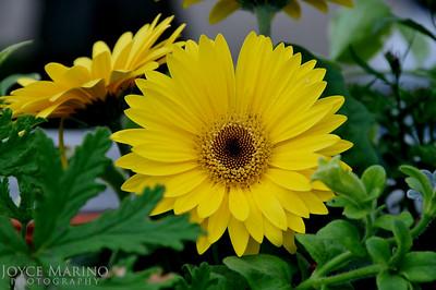 Gerbera Daisy -- DSC_2947