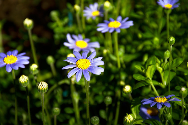 Everyone gets blue daisies!