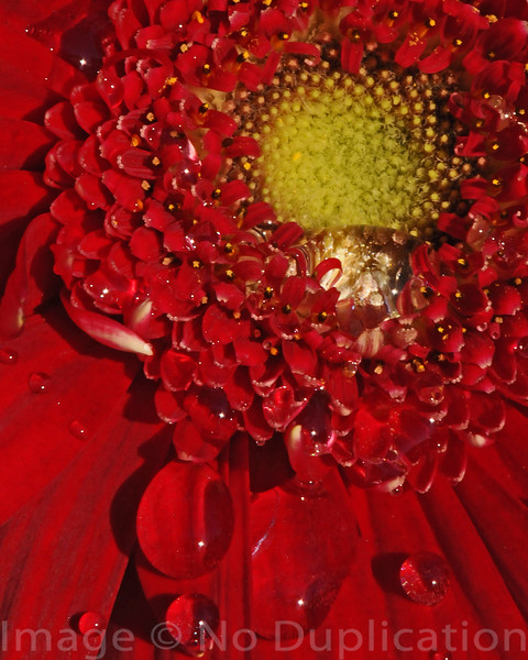 Red Daisy 2009<br /> (4x5)