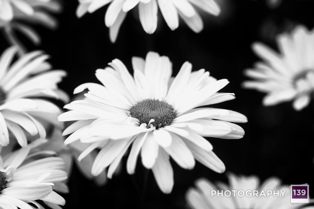 Daisy from the Iowa Arboretum