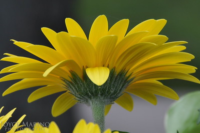 Simple beauty (Gerbera Daisy) -- DSC_2959