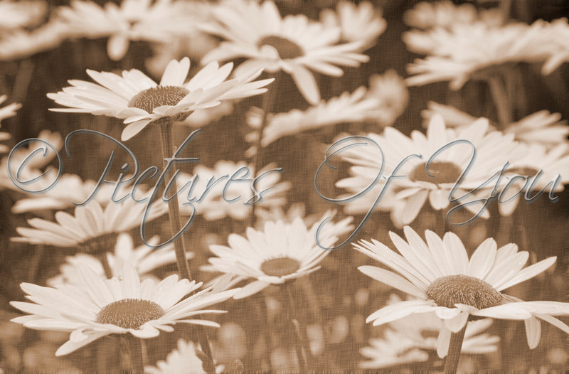 Vintage Daisies<br /> Photograph by Angela M. Jorczak, all rights reserved.