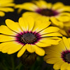 Osteospermum - Blue Eyed Beauty