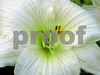 White and green Day lily 1