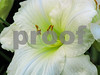 White and Green Daylily 2