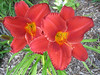 "Chicago Apache - Marsh/Klehm 1981, 27"" scape, midseason flowering, dormant, tetraploid, 5"" bloom, scarlet self with green throat"