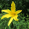 "Highboy - DCH 1934, 60"" scape, mid-late season flowering, dormant, diploid, fragrant, no bloom size listed, YL1 (yellow light self)"