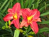 IMG_8111 ('Fiery Messenger' Daylily - Duke Gardens