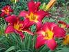 IMG_8112 ('Mathias Kluger' Daylily) - Duke Gardens