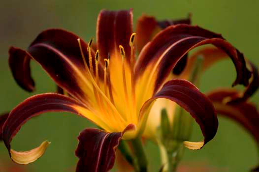 Daylily Black Plush <br /> Elm Bank<br /> © WEOttinger, The Wildflower Hunter - All rights reserved<br /> For educational use only - this image, or derivative works, can not be used, published, distributed or sold without written permission of the owner.