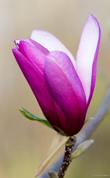 Purple magnolia - 2