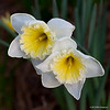 This year's daffodils