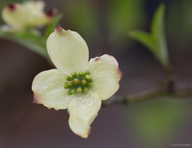 First kousa dogwood bloom