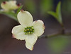 First kousa dogwood bloom