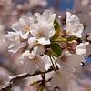 Flowering cherry 2