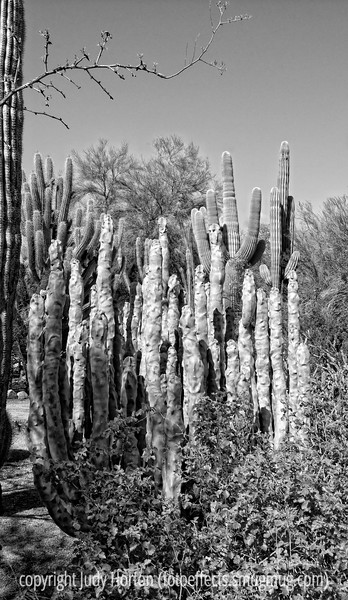 Cactus in the Desert Botanical Garden in Phoenix, Arizona; best viewed in the largest sizes