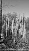 Cactus in the Desert Botanical Garden in Phoenix, Arizona; best viewed in the largest sizes
