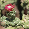 Chain Fruit Cholla Flower