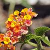 Desert Zinia - Zinnia acerosa