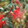 Baja Fairy Duster - Caliandra californica