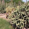 Chain Fruit Cholla