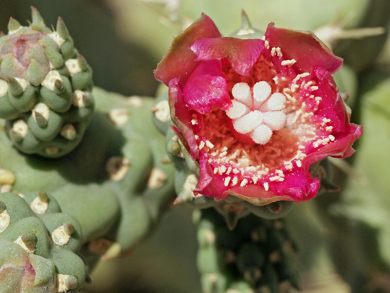 Chain Fruit Cholla Flower 2