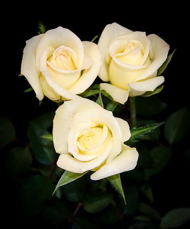 Desert Rose Society Rose Show 2013