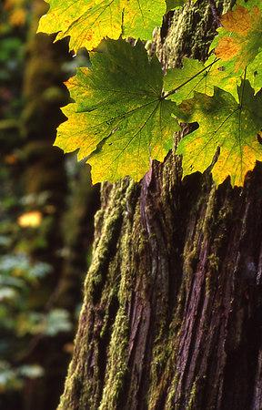 maple leaves green - goldstream park