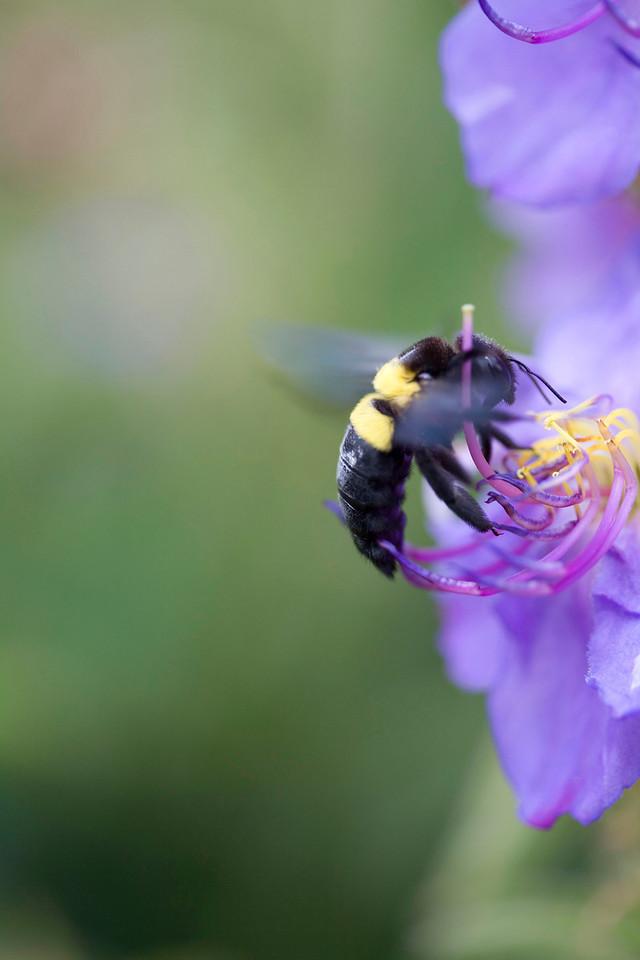 Carpenter bee on Dissotis princeps