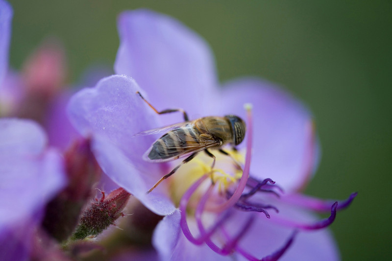 Bee on Dissotis princeps