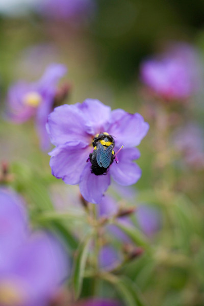 Carpenter bee on Dissotis princeps