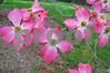 DSC_1491 Pink Dogwood blossoms