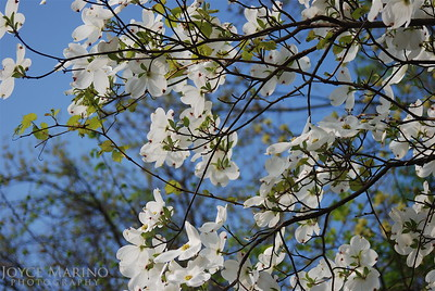 Dogwood - white with blue sky -- DSC_0097