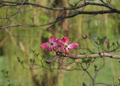 Pink Dogwood -- DSC_0022