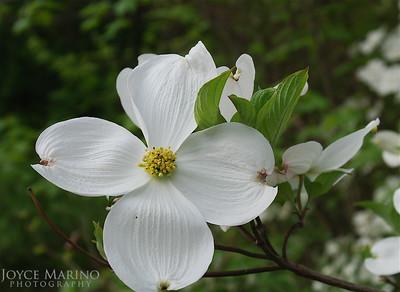 White Dogwood Blossom -- DSC_0081