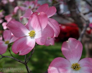 Pink Dogwood -- DSC_0110