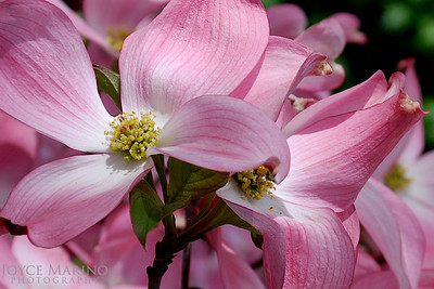 Pink Dogwood Flower -- DSC_0113-1