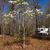 Dogwood-04022012-114953(f)