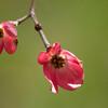 pink dogwood 04142008 (15)