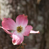 dogwoods - pink_0002_04_23_2008