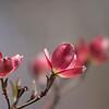pink dogwood 04142008 (3)