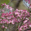 dogwoods - pink_0001_04_23_2008
