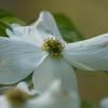 white dogwood_0007