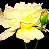 Light Yellow Rose and Bud