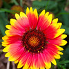 Domestic Flowers - Blanket Flower in Garden