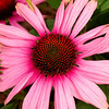 Domestic Flowers - Pink Cone Flower