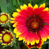 Domestic Flowers - Blanket Flowers in Garden